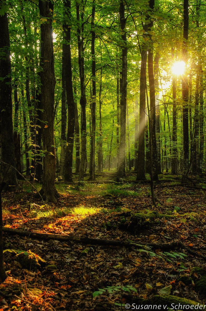 Beam of sun light northern hardwood forest, old growth forest, people in nature